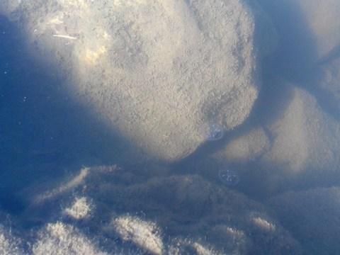náhodný obrázok z galérie Medúzka sladkovodná - Klinger